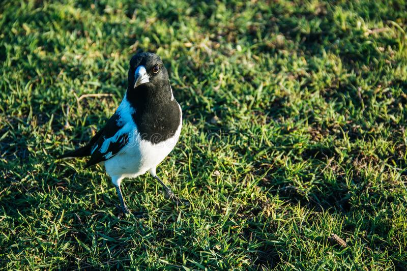 Pájaro de la urraca australiana en la hierba verde en la tarde fotografía de archivo