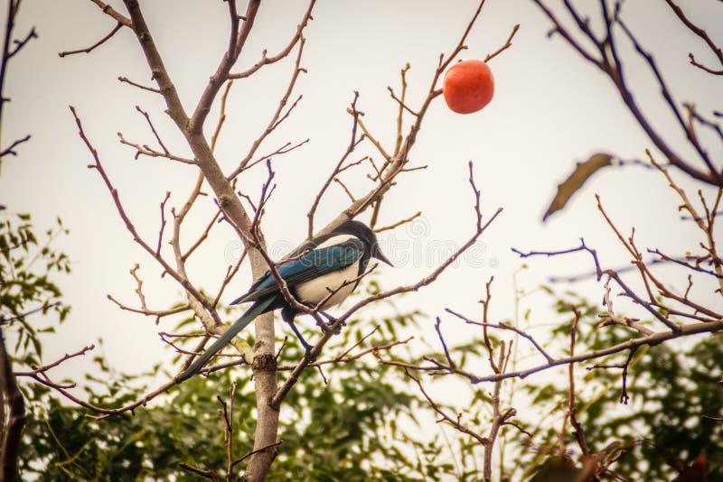 Pájaro de la urraca en el árbol de caquis en la calle en la ciudad de Jeju, J imagenes de archivo