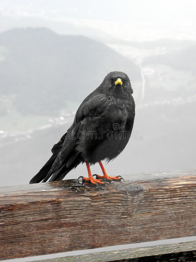 Pájaro de las altas montañas cerca de Kehlsteinhaus, 1, montañas alemanas fotos de archivo libres de regalías