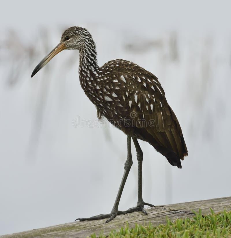 Pájaro de Limpkin imagen de archivo