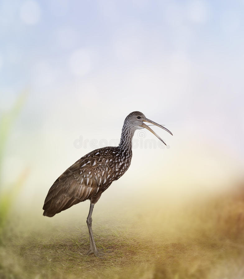 Pájaro de Limpkin imágenes de archivo libres de regalías