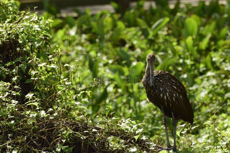 Pájaro de Limpkin fotos de archivo