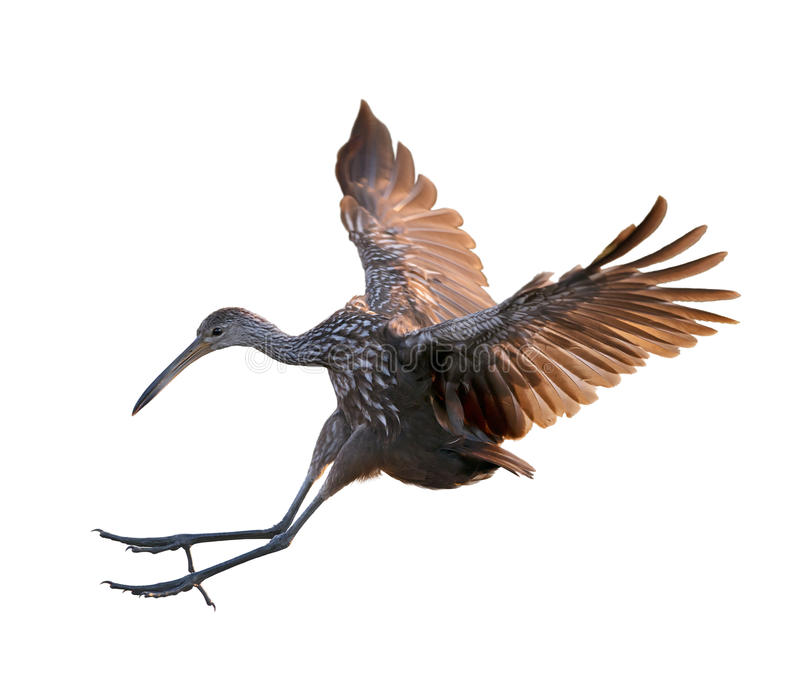 Pájaro de Limpkin en vuelo fotos de archivo