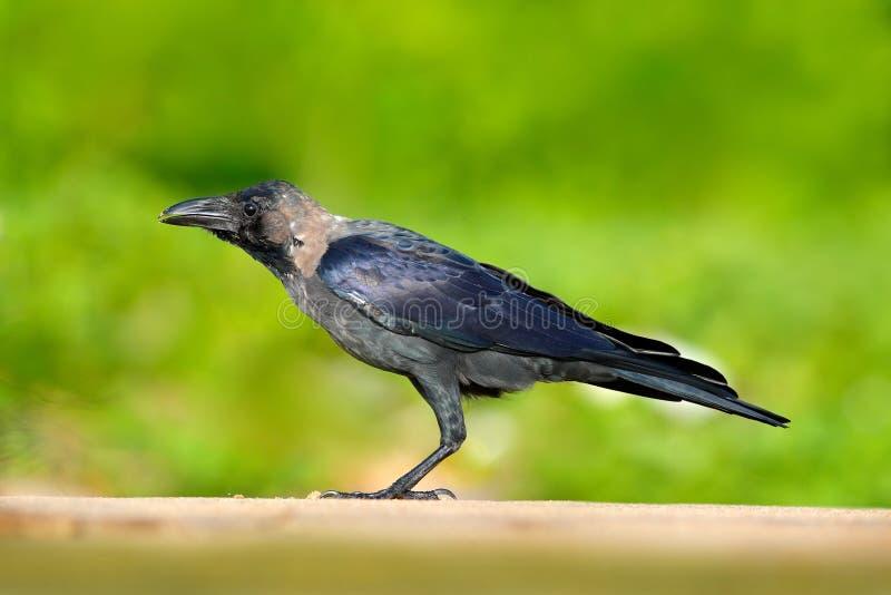 Pájaro de los splendens del cuervo, del Corvus de casa, negro y gris que se sienta en el camino de la grava, fondo verde del clar foto de archivo
