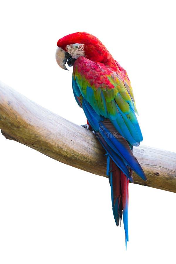 Pájaro de Macow imagenes de archivo
