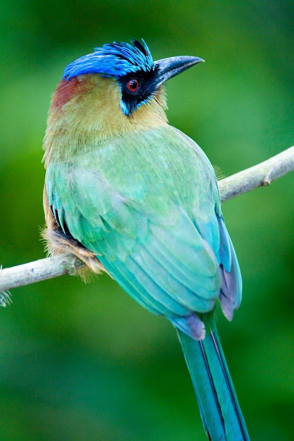 Pájaro de Motmot fotografía de archivo libre de regalías