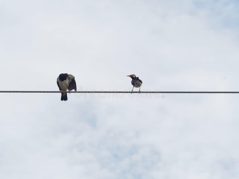 Pájaro de myna común que se atusa o que se limpia y que se coloca o que se encarama en cuerda de alambre o la honda del cable imagen de archivo libre de regalías