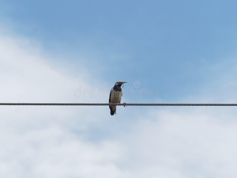 Pájaro de myna común que se coloca o que se encarama en cuerda de alambre o la honda del cable con la hierba seca o la paja en la foto de archivo libre de regalías