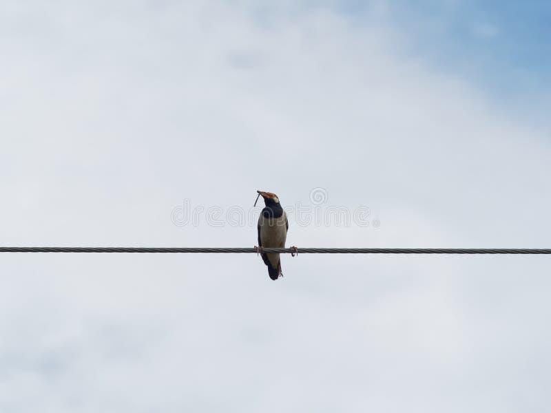 Pájaro de myna común que se coloca o que se encarama en cuerda de alambre o la honda del cable con la hierba seca o la paja en la fotos de archivo