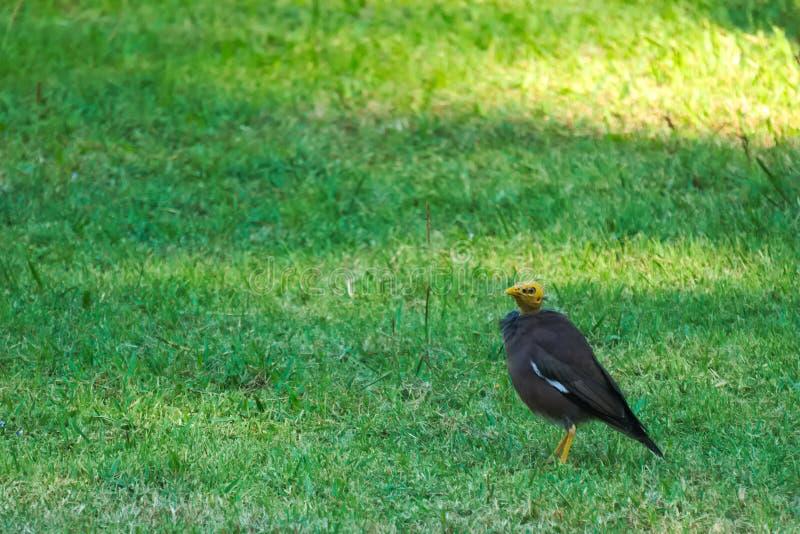 Pájaro de Myna negro lamentable con una cabeza implume, saltando alrededor de un parque tailandés, olvidadizo de su diferencia foto de archivo