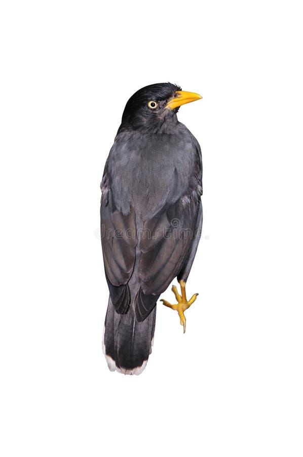 Pájaro de Mynah fotos de archivo