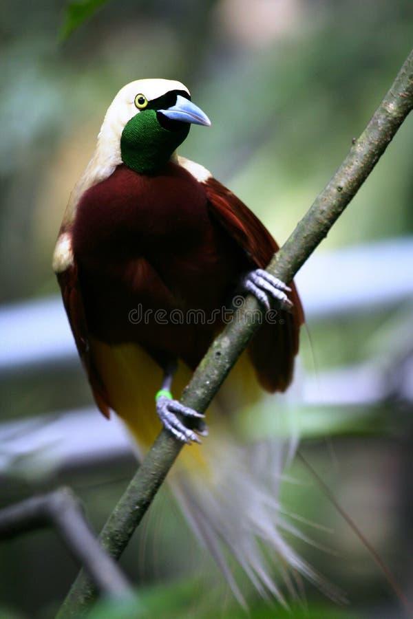 Pájaro-de-paraíso Rojo Foto de archivo
