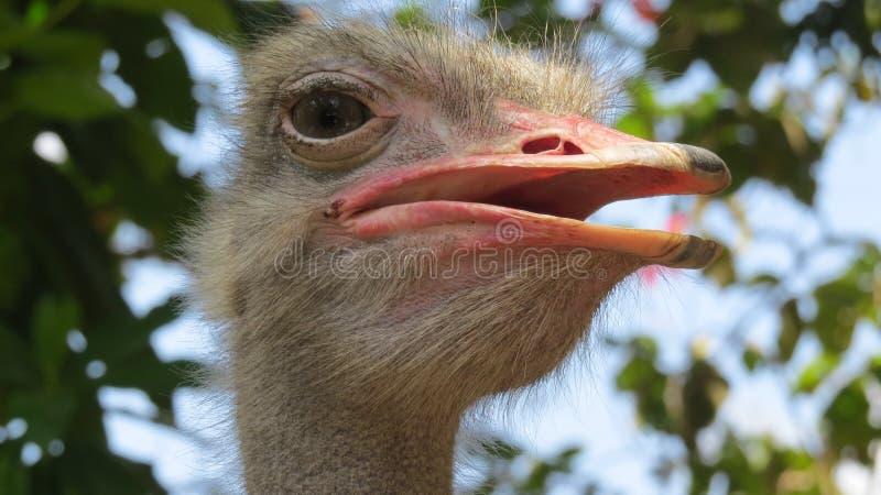 Pájaro de Pasbara/de la avestruz en Sri Lanka foto de archivo