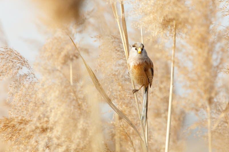 Pájaro de Reed Parrotbill imagen de archivo libre de regalías