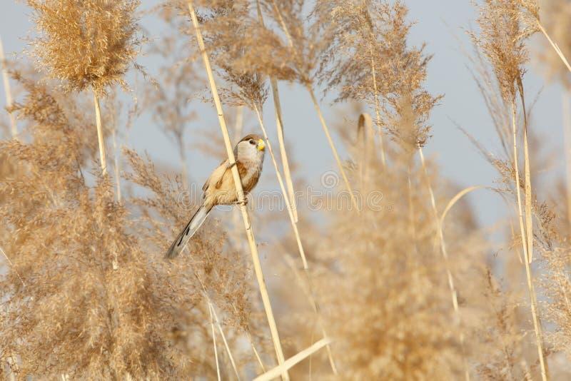 Pájaro de Reed Parrotbill fotografía de archivo
