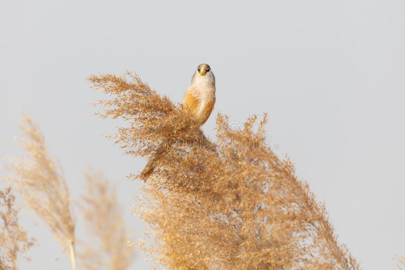 Pájaro de Reed Parrotbill imagenes de archivo