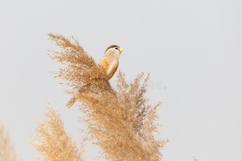 Pájaro de Reed Parrotbill fotos de archivo libres de regalías