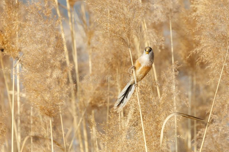 Pájaro de Reed Parrotbill foto de archivo