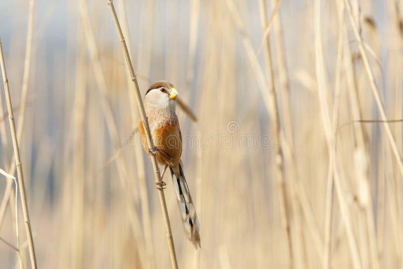 Pájaro de Reed Parrotbill fotos de archivo