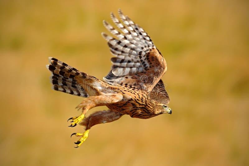 Pájaro de vuelo del azor de la presa, gentilis del Accipiter, con el prado amarillo del verano en el fondo, pájaro en el hábitat  foto de archivo libre de regalías