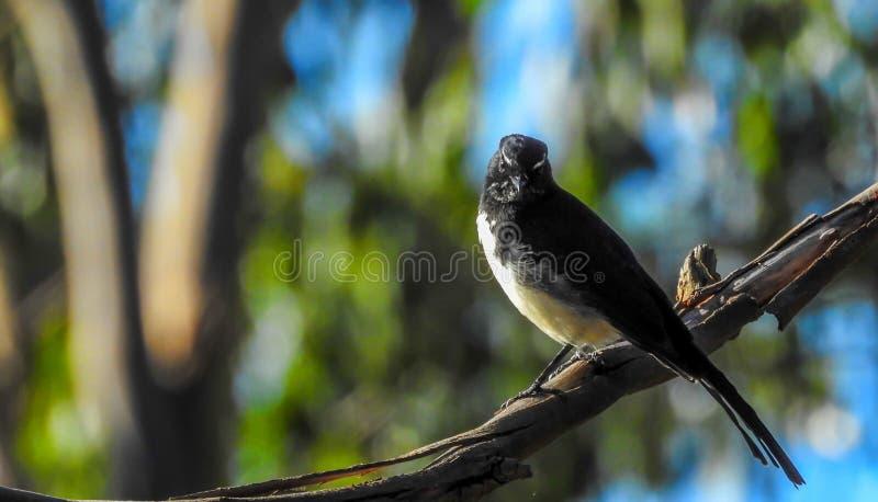 Pájaro de Willie Wagtail fotografía de archivo