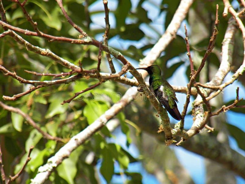 Pájaro de Zumbador en Forest Refuge del Caribe en Cabo Rojo, Puerto Rico fotografía de archivo libre de regalías