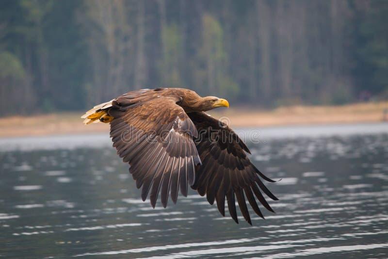 Pájaro del águila de mar foto de archivo