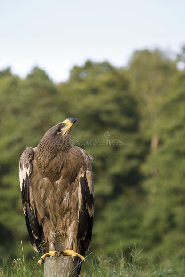 Pájaro del águila en el poste imagen de archivo