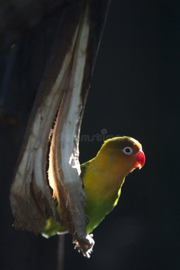 Pájaro del amor imagenes de archivo