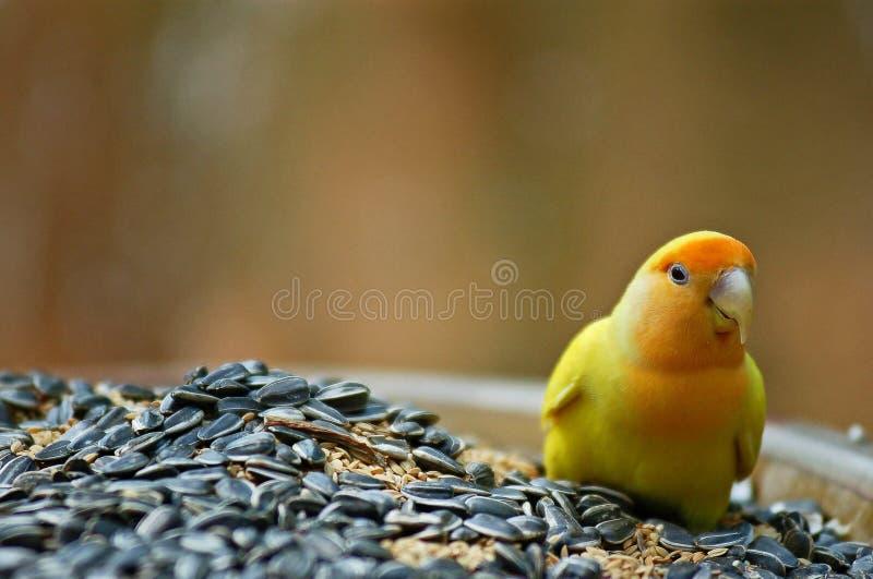 Pájaro del amor en un cuenco de granos imagenes de archivo