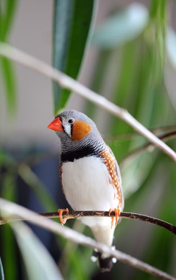 Pájaro del animal doméstico foto de archivo