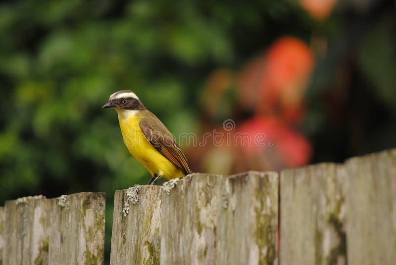 Pájaro del Brasil foto de archivo