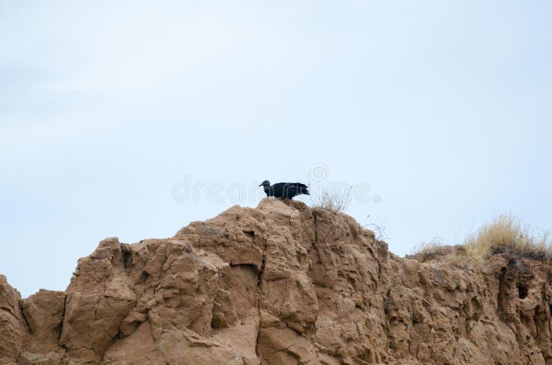 Pájaro del buitre negro que se sienta en la formación del suelo fotos de archivo libres de regalías