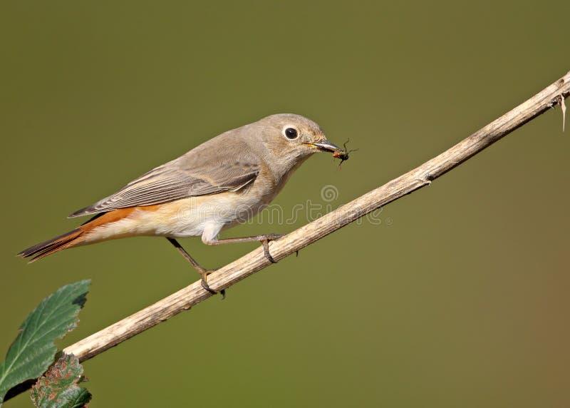 Pájaro del cazador foto de archivo libre de regalías