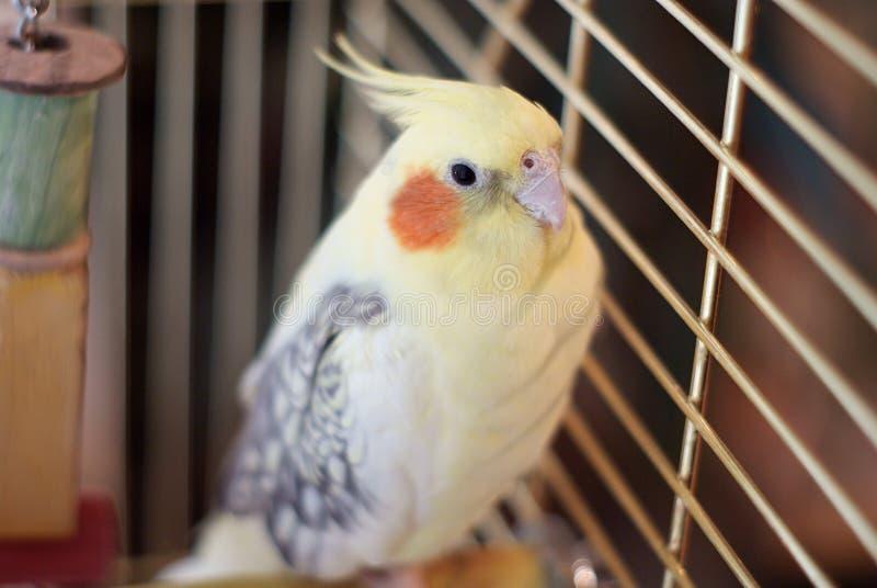 Pájaro del Cockatiel en una jaula fotografía de archivo