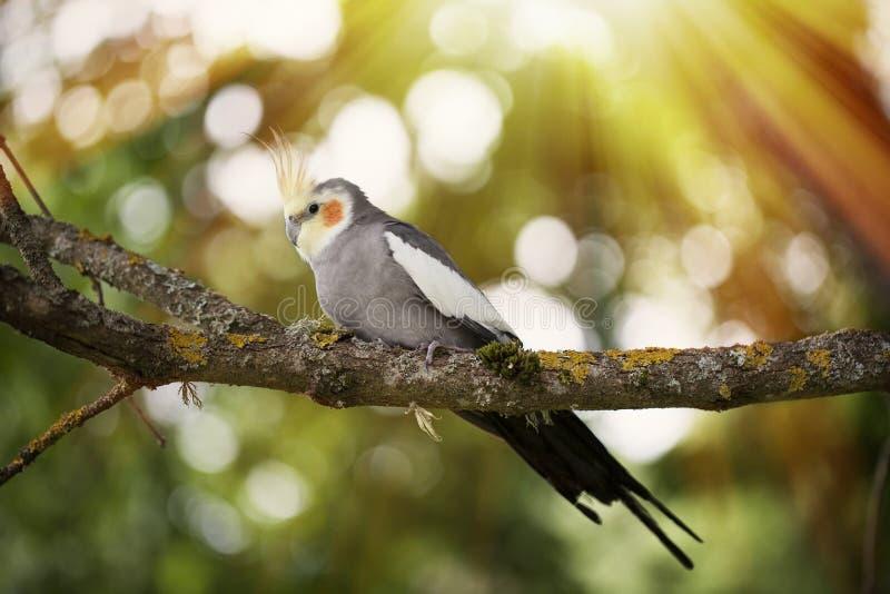 Pájaro del Cockatiel en una ramificación de árbol fotografía de archivo