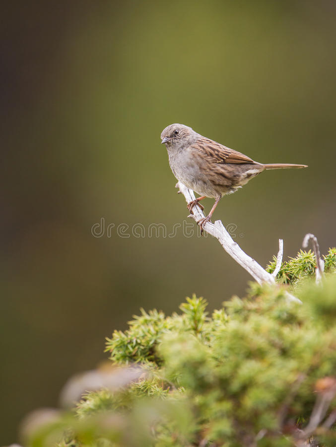 Pájaro del Dunnock foto de archivo libre de regalías
