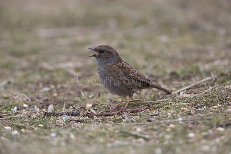 Pájaro del Dunnock encaramado fotos de archivo