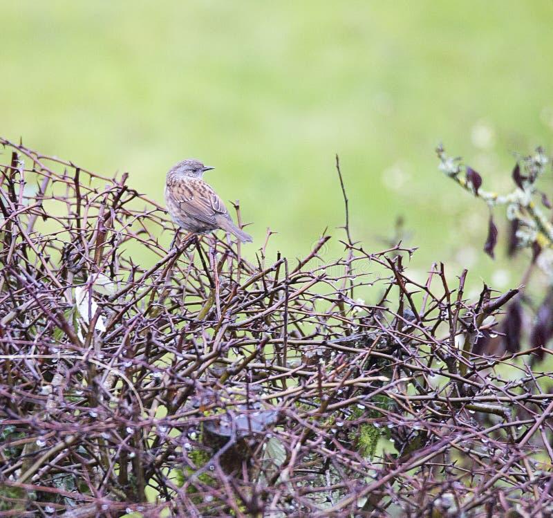 Pájaro del Dunnock encaramado en el seto de la zarza fotos de archivo