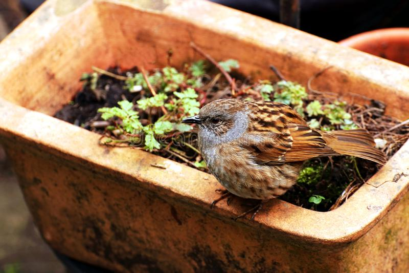 Pájaro del Dunnock encaramado en un pote de la terracota foto de archivo