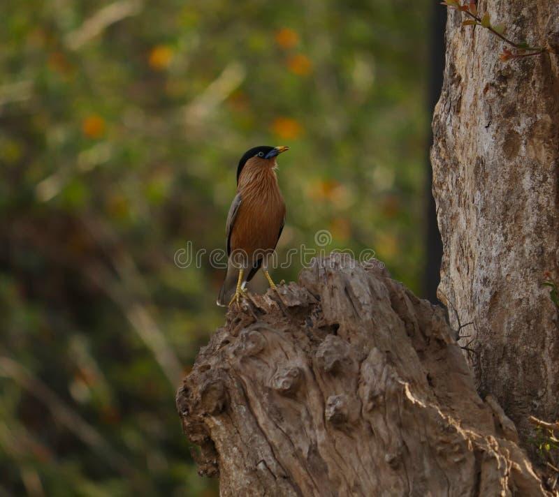 Pájaro del estornino de Brahminy en la rama imágenes de archivo libres de regalías