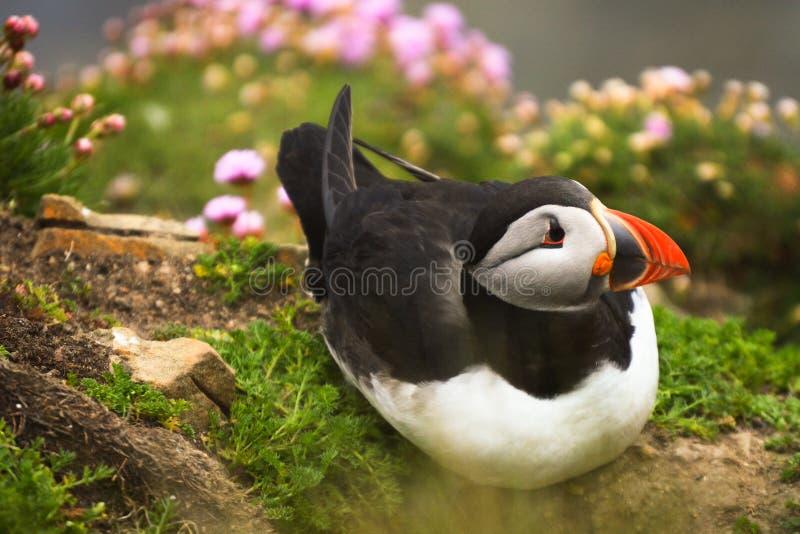 Pájaro del frailecillo en la hierba foto de archivo libre de regalías