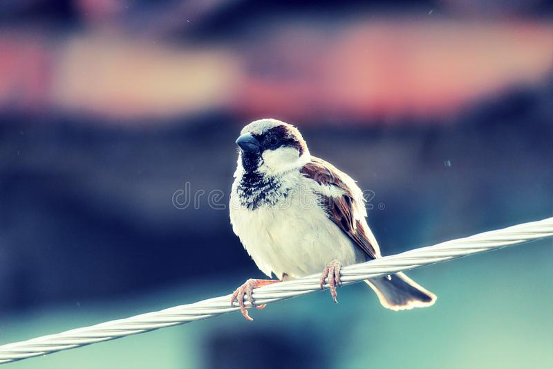 Pájaro del gorrión foto de archivo