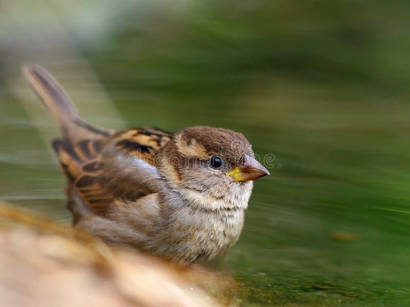 Pájaro del gorrión  imagen de archivo