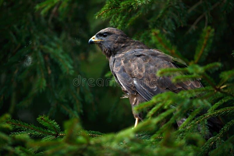 Pájaro del halcón común de la presa, buteo del Buteo, sentándose en rama de árbol spruce conífera Pájaro ocultado en el árbol en  imagenes de archivo