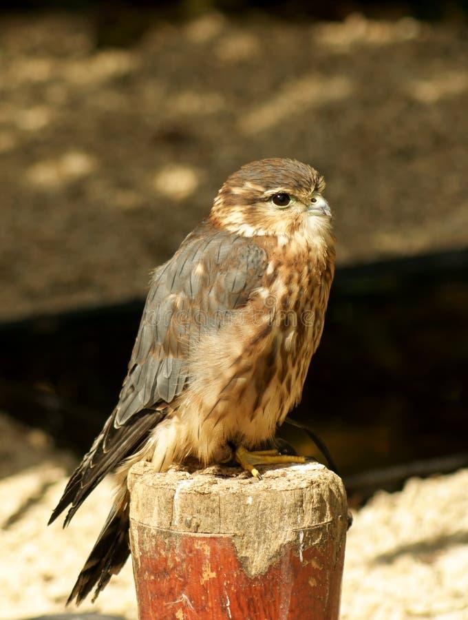 Pájaro del halcón de MERLIN foto de archivo libre de regalías