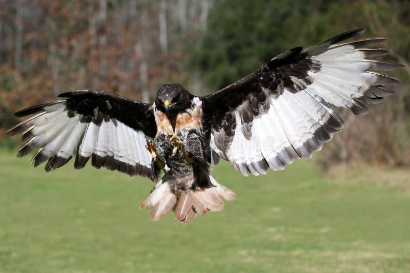 Pájaro del halcón del chacal en vuelo fotografía de archivo