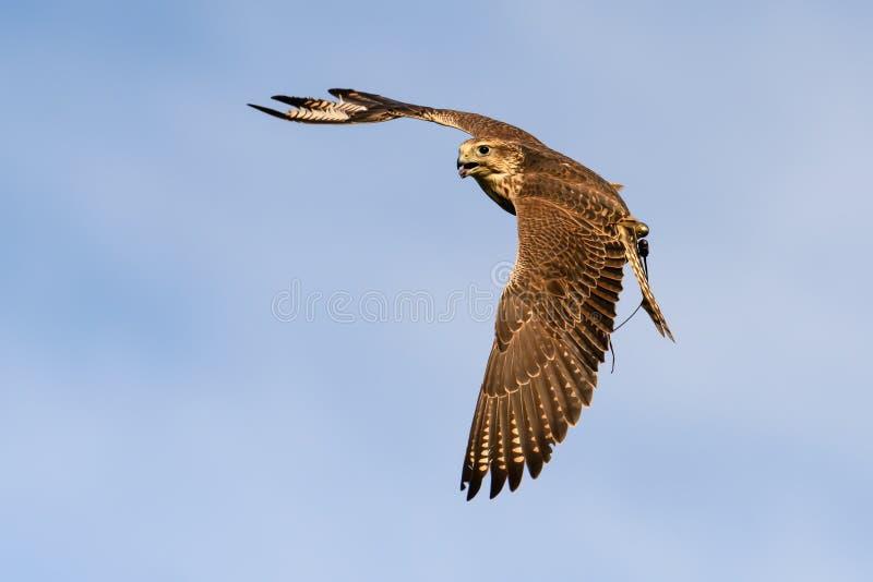 Pájaro del halcón en vuelo foto de archivo libre de regalías
