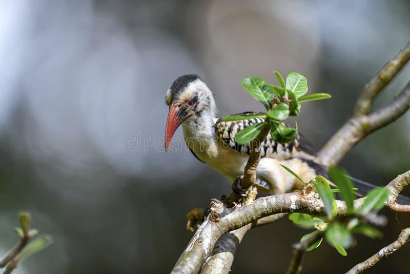 Pájaro del Hornbill en el árbol imágenes de archivo libres de regalías