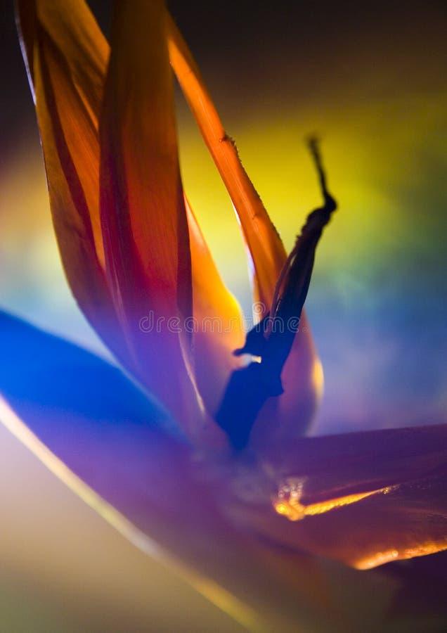 Pájaro del lirio del paraíso imagen de archivo libre de regalías